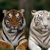 Ученые из Петербурга и Китая помогут тиграм размножаться в неволе