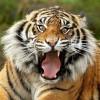Амурский тигр появился в уезде Фанчжэн