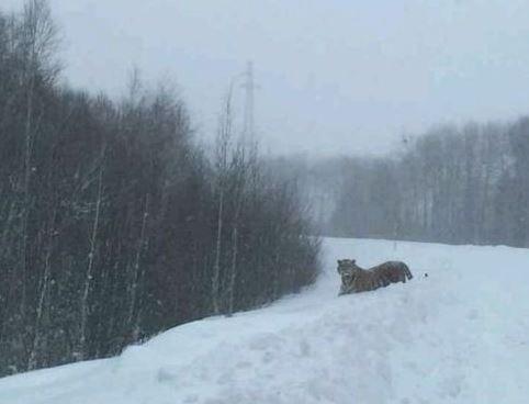 амурский тигр Устин в уезде Фуюань