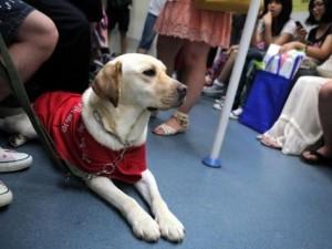 Собаки-поводыри в Пекине
