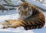 Группа экспертов по защите тигра Устина будет работать в уезде Фуюань