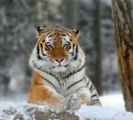 Один из «путинских» тигров вернулся в Россию из Китая