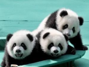 Пандам-тройняшкам дали имена
