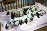 14 панд будут показаны публике во время традиционного праздника