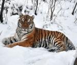 Тигр Устин возвратился из Китая в Россию