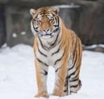 «Путинский» тигр Устин «зверствует» в провинции Китая