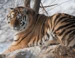 В Китае амурский тигр Устин уже убил 15 коз
