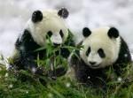 В заповедниках Китая родились 36 панд в 2014 году