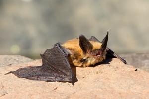 Атипичная пневмония распространяется в Китае из-за летучих мышей