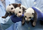 Единственные панды-тройнящки уже попробовали бамбук