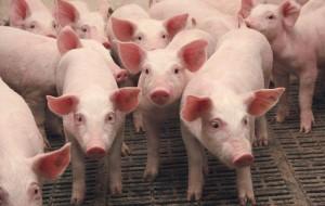 Из-за вспышки АЧС в Китае уничтожены 8 000 свиней
