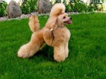 Какие собаки живут с китайцами