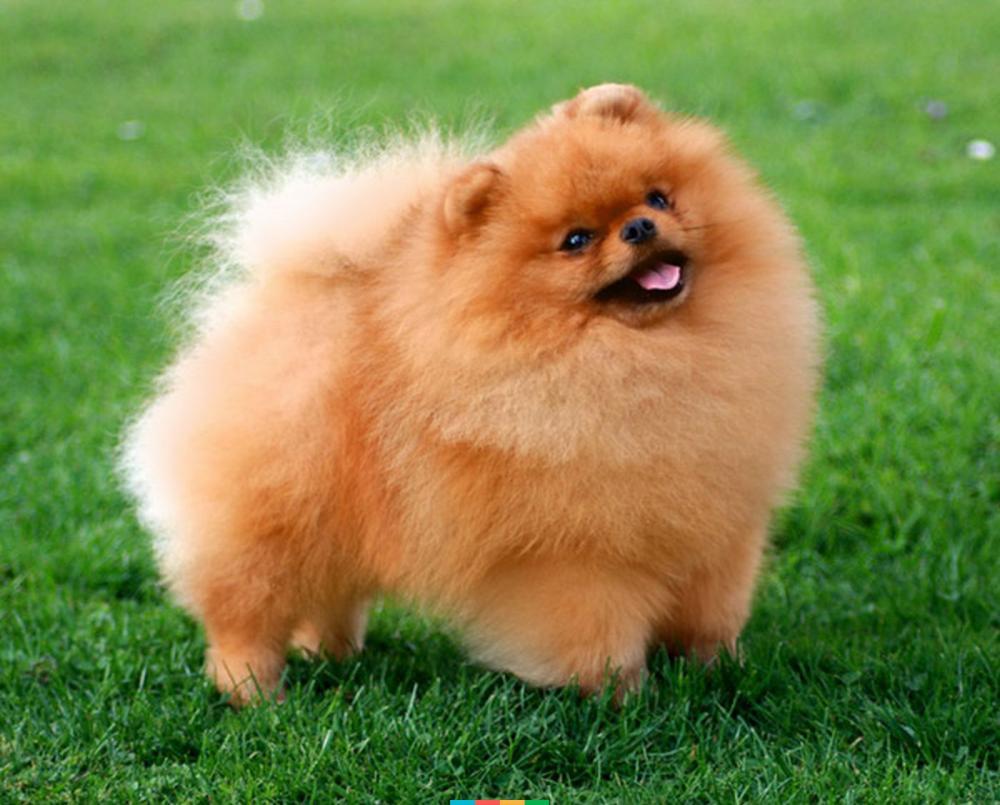 Какие собаки живут с китайцами2
