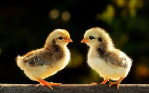 Китай хочет экспортировать в РФ цыплят и яйца