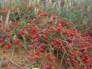 Китай начинает жестче регулировать выращивание эфедры