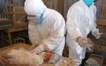 Китай под угрозой птичьего гриппа