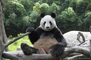 Китайский банк спермы для больших панд