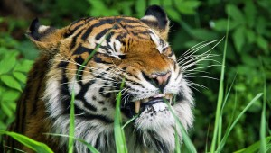 Китайский самоубийца пытался покормить собой тигров