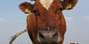 Клонированная китайская корова принесла потомство