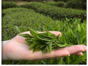 Краткая история китайского чая