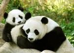 Малыш панды начинает ходить