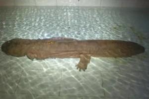 На территории КНР нашли двухвековую саламандру