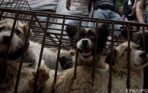 Несмотря на протесты в Китае проходит ежегодный фестиваль собачьего мяса
