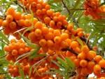 Облепиха – ягода красоты и здоровья