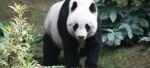 Один из китайских жителей получит в качестве компенсации 83 000 американских долларов за нападение панды