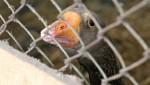 От птичьего гриппа на Тайване погибло около миллиона птиц