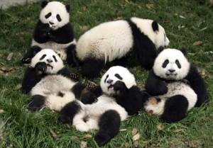 Панды станут помощниками в налаживании отношений с Малайзией