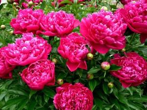 Пионы – самые популярные цветы в Поднебесной