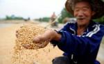 Поднебесная соберет хороший урожай пшеницы