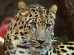 Последний амурский леопард был убит браконьером из Китая