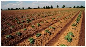 Растениеводство в Китае