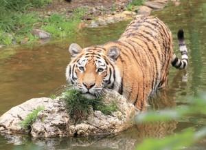 Редкий тигр съел своего смотрителя на территории Шанхайского зоопарка