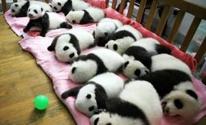 Рекордное количество панд родилось в Китае