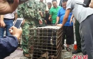 Российский медведь вызвал панику в китайском городе