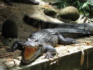 Шесть особей вымирающего вида аллигаторов выпустят в КНР
