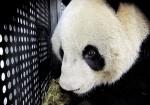 Самая старая панда в мире готовится отпраздновать свой день рождения