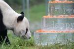 Самый старый самец панды отпраздновал в Китае свое 30-летие