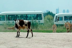 Сибирский тигр нападает на китайских быков