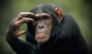 Ученые из Китая собираются пересадить голову примата
