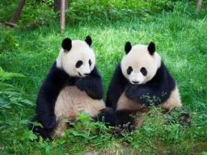 В КНР создали приложение для различения морд гигантских панд
