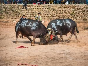 В Китае на Новый год прошли бои буйволов