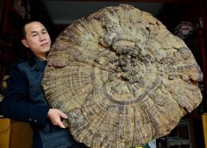 В Китае найден самый большой лечебный гриб в мире