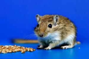 В Китае найден самый маленький грызун на планете