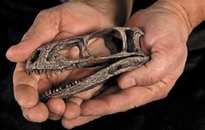 В Китае найден скелет самого маленького динозавра