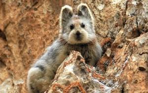 В Китае обнаружен «волшебный» кролик, находящийся на грани вымирания