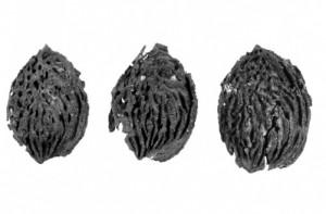 В Китае обнаружили окаменелые косточки персиков